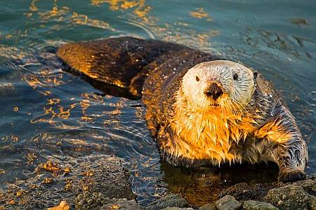 Sea Otter on Shore Leave