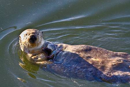 Sea Otter Swimming and Eating