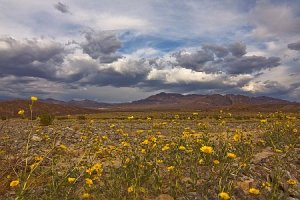 Desert Gold Wildflowers in Death Valley