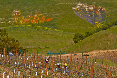 Vineyard workers on Highway 58 below wildflower hill