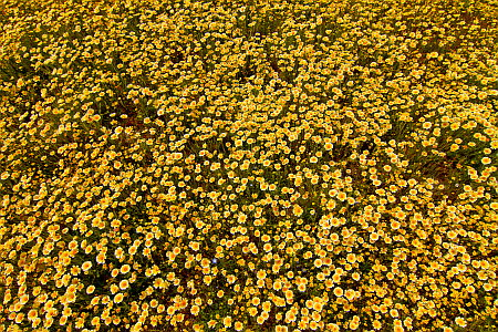 Yellow Wildflower Carpet on Highway 58