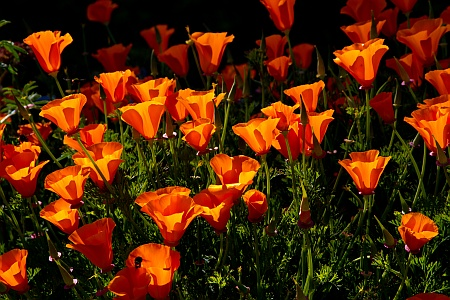 California Poppies at Alcatraz