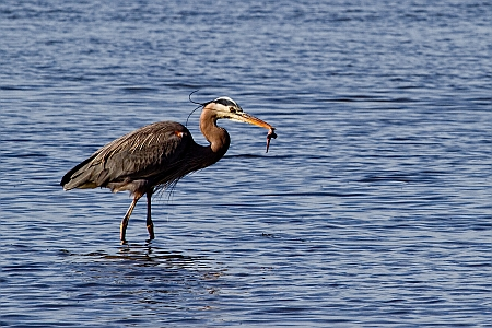 Heron at Morro Bay State Park